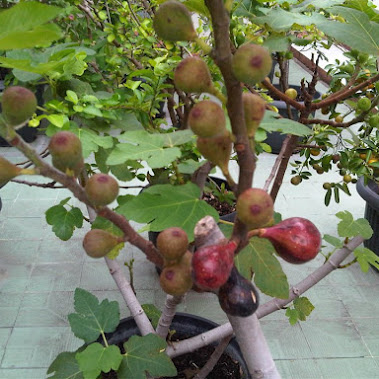 buah tin si